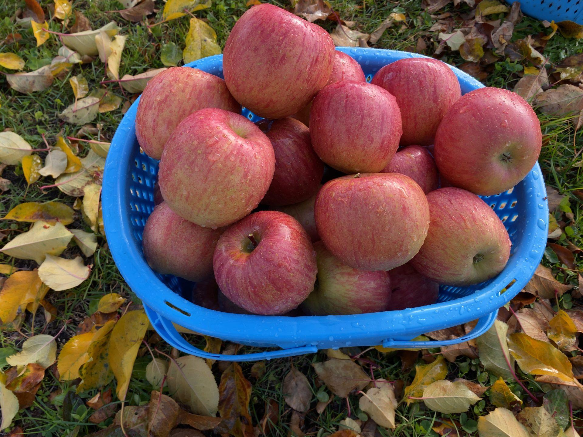 食道楽の岡山ランチ<番外編>リンゴ収穫の長野から今年最後の黒部ダムへ【SAとホテルのグルメから観光と収穫の旅】